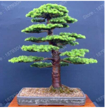 Promotion Japanese Cedar Tree Bonsai Resistant to Cold Evergreen Cedar Tree for Home Garden Planting Easy Genuine 100pcs/bag - (Color: Purple)