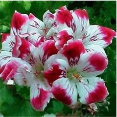 100 PCS Garden Geranium Seed Rare Potted Flower Seed Perennial Outdoor Decoration Plant