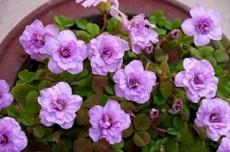 1PC Oxalis nidulans 'Pompom' Bulb Double Purple Flowers