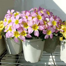 1PC Oxalis Obtusa Bulb Pink Flowers with Yellow Centre Perennial Flowers