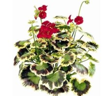 100PCS Geranium Seeds Variegated Red Flowers with Colorful Leaves