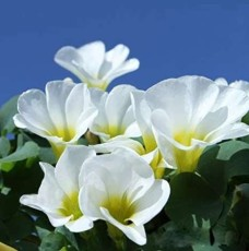 1PC Oxalis Oxalis 'White Hibiscus' Bulb White Flowers with Yellow Centre (Small Bulb)
