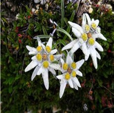 20PCS 100% Genuine Edelweiss Seeds The Plant of High Mountain of New Zealand