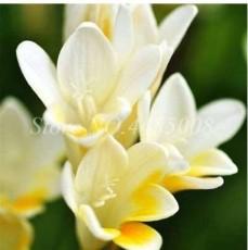 100PCS Gorgeous Freesia Seeds Yellowish White Flowers Hardy Plants