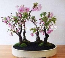 10PCS Pink Bonsai Sakura Seeds Garden Sakura Japanese Cherry Blooms Flower