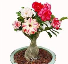 5PCS Adenium Seeds 5-in-1 Colors on the Tree Desert Rose Flowers Seeds