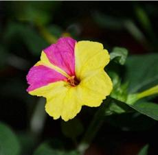 20PCS Jasmine Mirabilis Flower Seeds Yellow and Hot Pink Petals Flowers