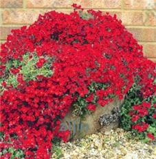 100PCS Dark Red Creeping Thyme Flower Seeds Rock CRESS Perennial Ground Cover Flowers