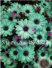 100PCS Cosmos Flower Seeds Acid Blue Double Flowers with Purple-Black Centre