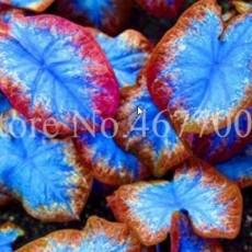 100PCS Thailand Caladium Seeds Burnt Rose Elephant Ear Flower Blue-Brown-Rose Red Triple Colors