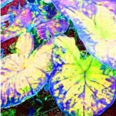 100PCS Thailand Caladium Seeds Burnt Rose Elephant Ear Flower Yellow-Blue-Pink Triple Colors