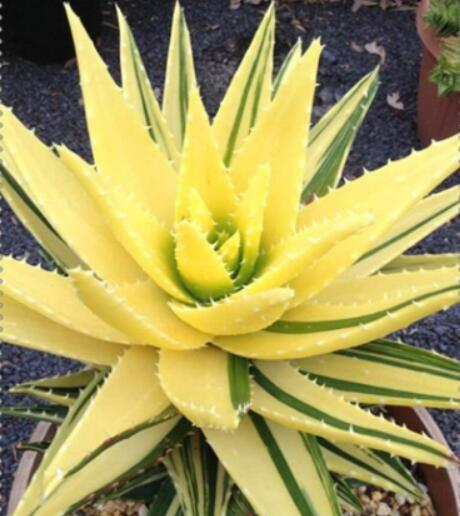 100PCS Aloe Seeds Yellow Boday with Green Stripes