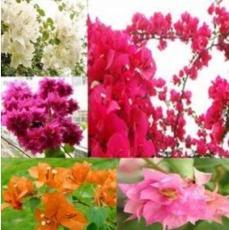10PCS Mixed Bougainvillea Seeds Perennial White Dark Red Red Orange Pink Flowers