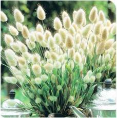 20PCS Bunny Tails Lagurus Ovatus Seeds Spring Ornamental Grasses