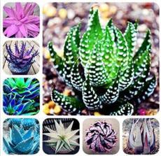 100PCS Mixed 8 Types of Aloe Seeds