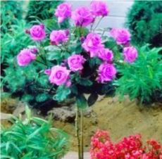 50PCS Pinkish Purple Rose Tree Flower Seeds Perennial Plants