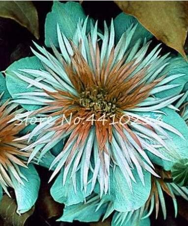 100PCS Acid Blue Clematis Seeds Perennial Climbing Flowers with White-Brown Centre