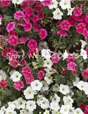 20PCS MIXED Impatiens Balsamina Seeds Red White Pink Flowers