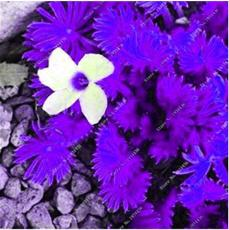 100PCS Purple Oxalis Seeds Wood Sorrel Flowers