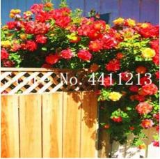 100PCS Rose Red Thailand Climbing Rose Seeds