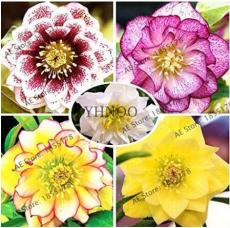 100PCS Helleborus thibetanus Seeds Mixed 5 Colors