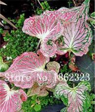 50PCS Thailand Caladium Seeds 'Tiger' Pink Greenish Ornamental Leaves