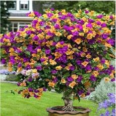 100PCS Orange Purple Bougainvillea Seeds