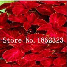 200PCS Fire Red Coleus Seeds Herb Ornamental Plants