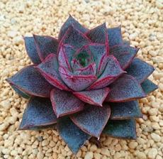 100PCS Echeveria Purpusorum Seeds