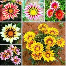 100PCS Mixed 6 Colors of Gorgeous Gazania Rigens Seeds