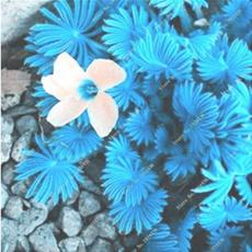 100PCS ACID Blue Oxalis Seeds Wood Sorrel Flowers