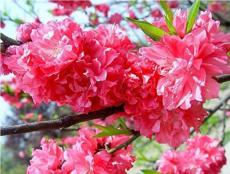 20PCS Dark Pink Azalea Seeds