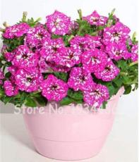300PCS Petunia Seeds Rose Pink Big Flowers with White Spots