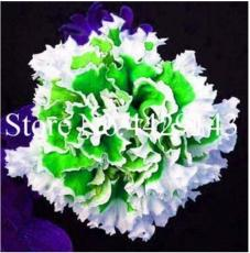 100PCS Petunia Seeds Purple White Green Damask Big Double Flowers