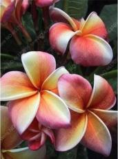 100PCS Plumeria Seeds Light Orange Blood Red White Fragrant Flowers