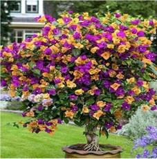 50PCS Bougainvillea Seeds Colorful Bougainvillea Spectabilis Willd Plant