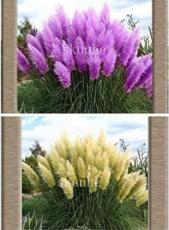 100PCS Mixed Yellow Purple Pampas Grass Seeds Ornamental Garden Planting