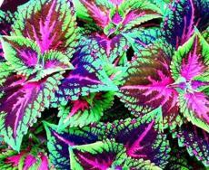 50PCS Janpanse Colorful Coleus Seeds 'Rainbow Dragon' Herbs