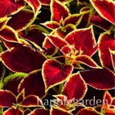 100PCS Rare Coleus Blumei Bonsai Seeds Fire Red Petals with Golden Ege Leaves
