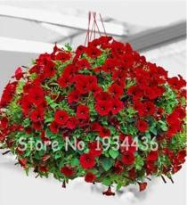 300PCS Hanging Petunia Seeds Fire Red Big Flowers