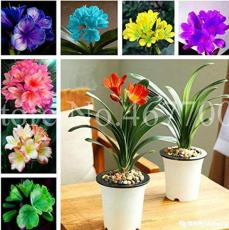 100PCS Mixed 8 Types of Clivia Seeds Indoor Ornamental Clivia Flowers Potted Plants