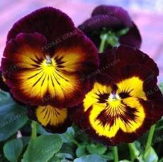 200PCS Wavy Viola Tricolor Pansy Flower Seeds Dark Purple with Yellow Petals