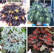 120PCS Mixed 4 Types Begonia Seeds Includin Fire Red, Green, White, Gray Red