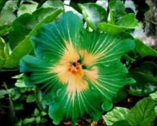 100PCS Green Hibiscus Seeds