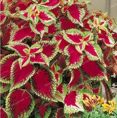 50PCS Janpanese Coleus Blumei Seeds Fire Red Herb Leaves with Light Green - White Edge