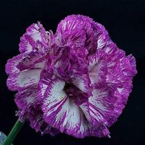 100PCS Colorful Carnations Seeds Dianthus Caryophyllus Cut Flowers