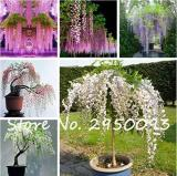 10PCS Mixed 6 Colors of Wisteria Plant Seeds Pink Purple White etc.
