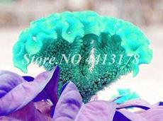 100PCS Dwarf Plumed Cockscomb Seeds Balcony Garden Annial Flowers