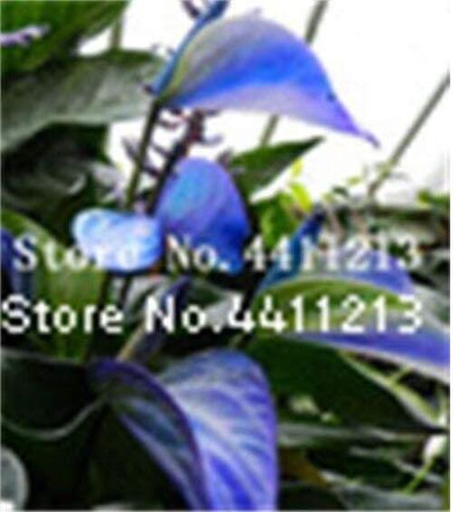 100PCS Blue Anthurium andraeanum Seeds