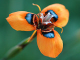 Rare Moraea Tulbaghensis Flower Seeds South Africa Flowers Orange Open Petals with Black Blue Centre